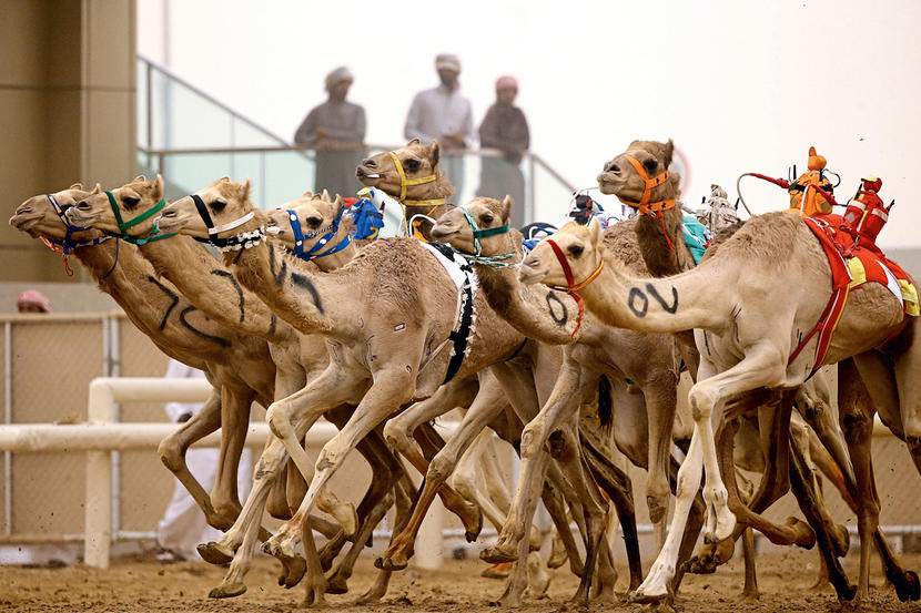 Al Marmoom Camel Race, attractions and sights in Dubai