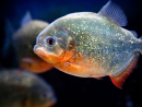 Visit the pirhanasThey're known to be the vicious, usually evil creatures of the sea. Well, in movies at least. The Green Planet, Dubai's first indoor eco-system, has just welcomed 1,000 of the big screen-popular piranhas to its aquatic collection. Experts will be on hand to educate the public and debunk some of those Hollywood myths daily at 4pm, where visitors can watch the fish feeding aquarium.Dhs99 (adults), Dhs74 (kids aged three-11), free (kids under three). Open Sat-Wed 10am-7pm; Thu-Fri 10am-8pm. City Walk, Al Safa Street www.thegreenplanetdubai.com (04 317 3999).