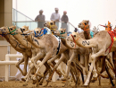 Go camel racing at Al MarmoomIf you haven't had a chance to see any camel racing yet, now's your opportunity. The season is in full swing so head to Al Marmoom to check it out.Jan 2. Al Marmoom Camel Racing Track (04 832 6526).