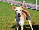 SAJA He loves playing, running and affection. He has a pre-existing leginjury that causes him to limp, but that doesn't hold him back.(056 357 6013).