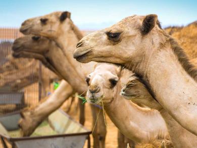 Camel baby milk launches in Dubai