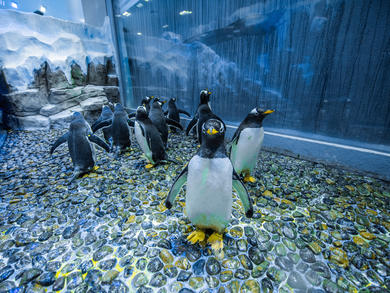 16 Antarctic Gentoo penguins arrive in Dubai